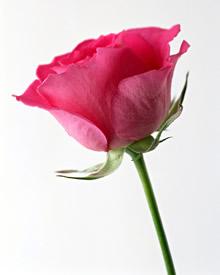 高清晰鲜花竖式壁纸